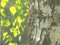 Birkenzucker - natürliche Süsse aus Hölzern