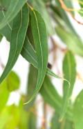 Eukalyptus staigeriana bio