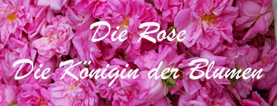 Die Rose - Die Königing der Blumen