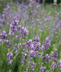 Lavendelöl, Lavandula angustifolia