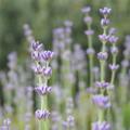 Lavendelhydrolat bei unreiner Haut