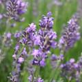 Lavendelöl BIO aus kontrolliert biologischem Anbau
