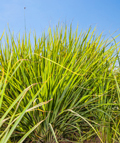 Lemongrassöl