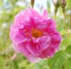 Rose Körper & Massageöl - mild und pflegend für jeden Hauttyp