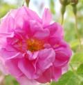 Die Rose - Königin der Blumen