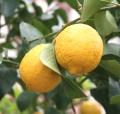 Zitronenöl bio