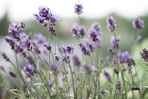Lavendel - Lavandula angustifolia