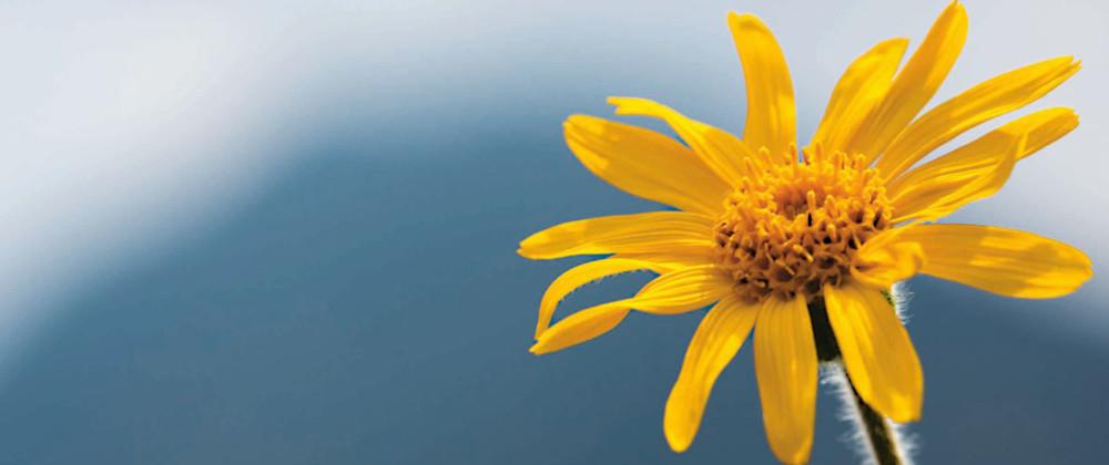 Arnika Blüte