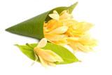 Champaka in Jojoba 10:90 Magnolia champaca var. alba