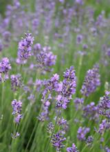 Lavendelhydrolat bio